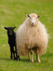 Sheep, eco news, marie claire