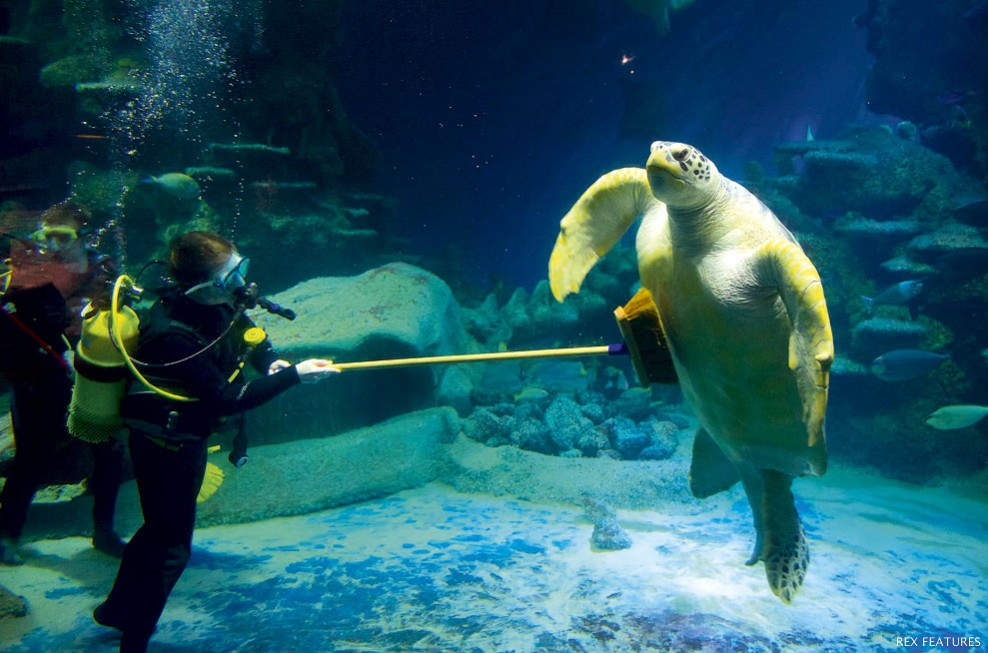Staff at the sea life london aquarium spruce up the displays an even