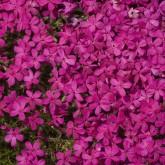Shibazakura (moss phlox) flowers