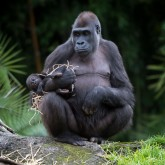 A western lowland gorilla with her baby