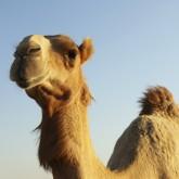 camel thumb.jpg